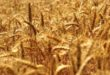 COVID: COLDIRETTI, +96% IMPORT GRANO CANADA, SOS GLIFOSATO