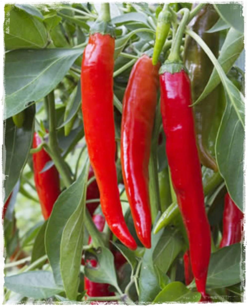 il pepe di cayenna utilizza nella perdita di peso