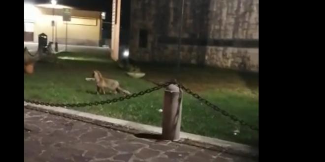 CAPISTRELLO. UNA VOLPE GIRA IN PAESE, LO SPETTACOLARE VIDEO